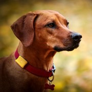 Scout-dog-closeup-collar
