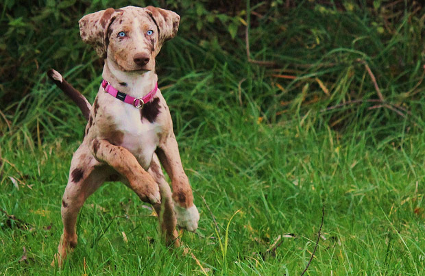 catahoula-leopard-dogs
